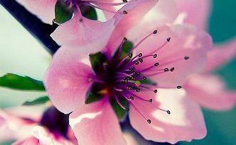 peach blossom romance method
